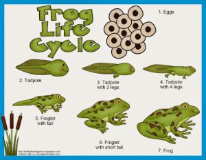 frog life cycle poster