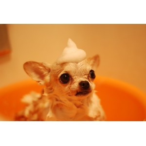 Dog with shampoo on his head